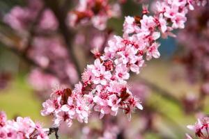 Blossoms on Lake Ginninderra Gary Lum