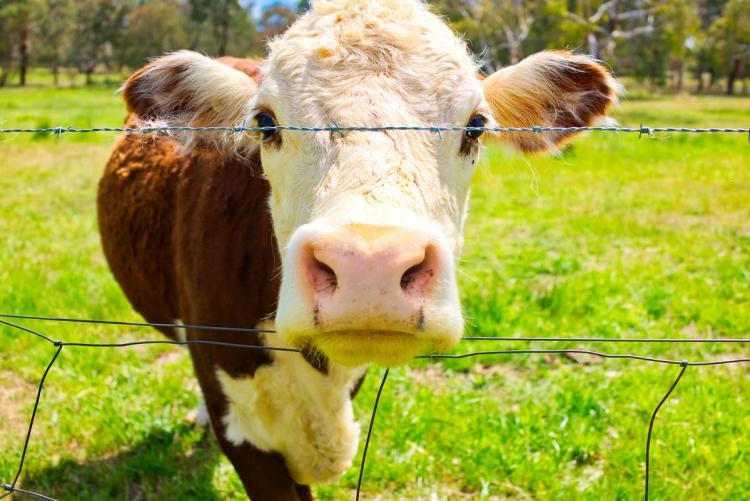 Cute cow on Lake Ginninderra Gary Lum