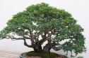 A bonsai at the National Arboretum
