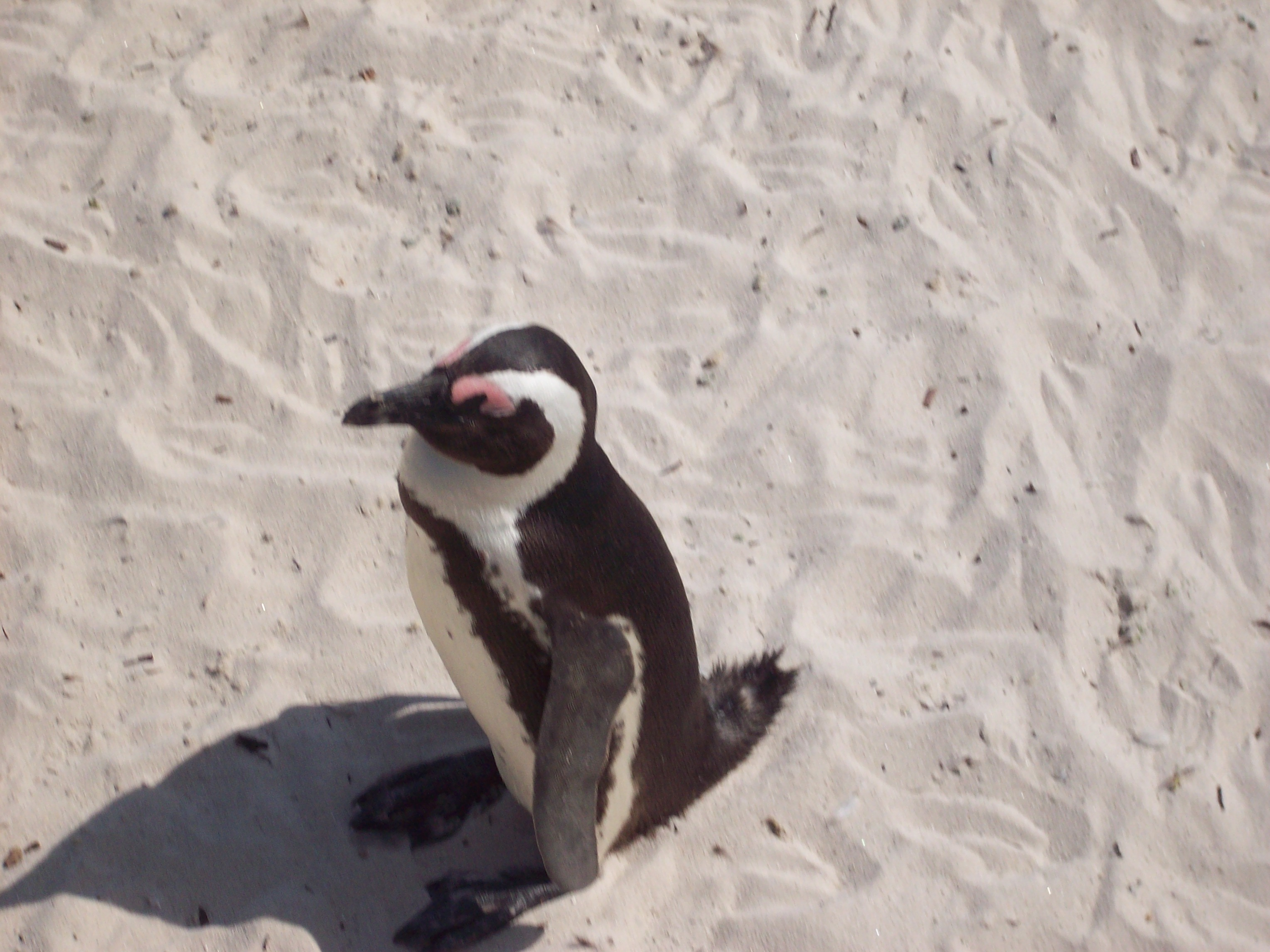 Who knew there were penguins in South Africa?