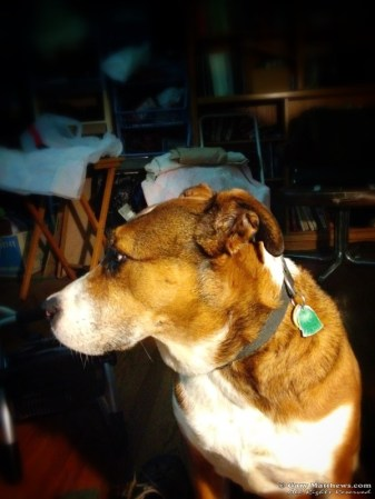 Cheyenne -- our lovable Mountain Cur