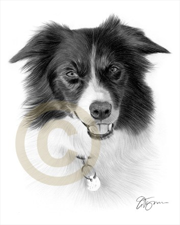 Border-Collie_2