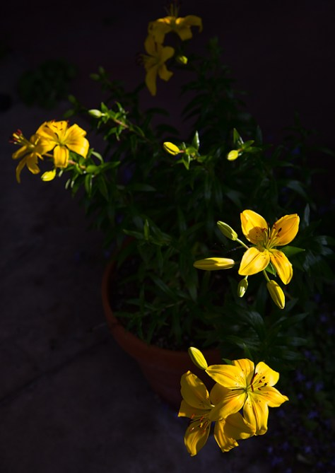 Yellow Asiatic lilies 1