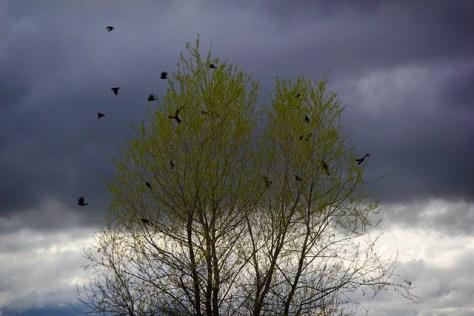 Blackbirds after a storm