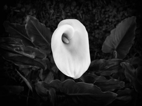 Calla lily in January