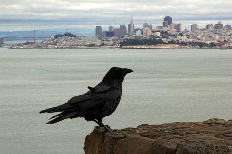 Crow at SF viewpoint