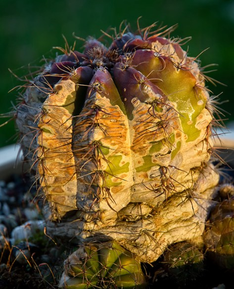 Old cactus on the patio in winter