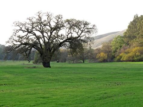 Oak in December