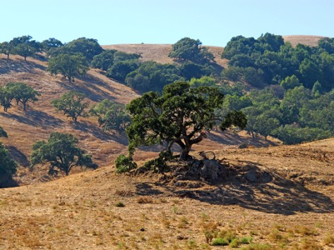 Oaks and hills