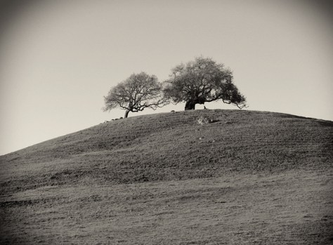 zoom shot of oaks on a green hill in black and white