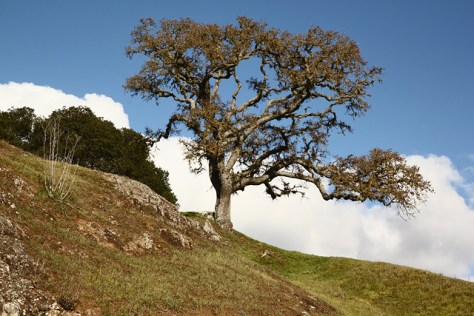 Oak on hill