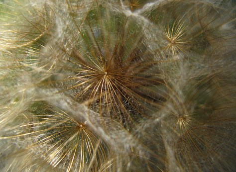 Salsify seed pod close up