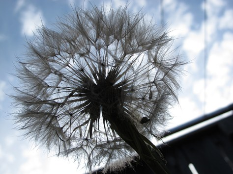 Salsify from underneath
