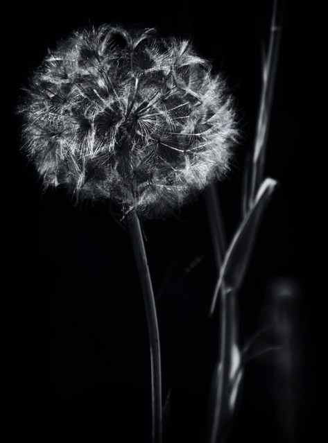 Salsify in black and white