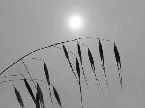 Oat grass and sun