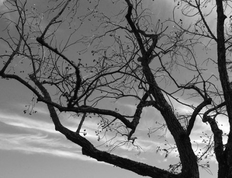 Old walnut tree black and white