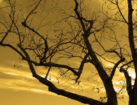 Old walnut tree filtered