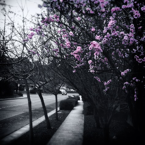 Pink plum blossoms isolated in black and white
