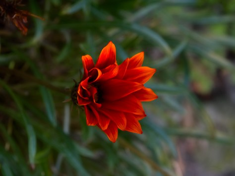 Gazania blooming in winter