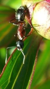 Formica Rufa su bocciolo di peonia