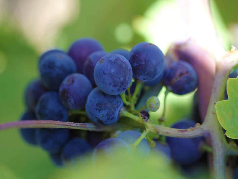 Vinos ecologicos Uvas ecologicas