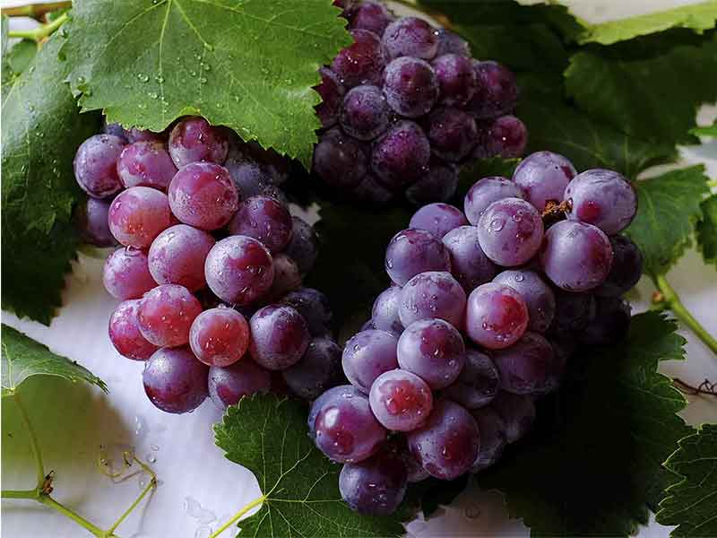 maridaje con vino tempranillo Uvas Tempranillo