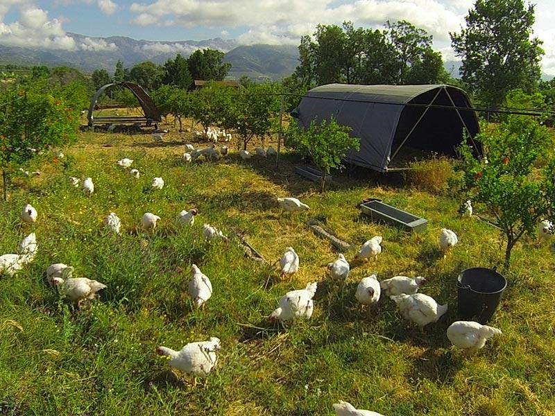 Granjea Pollos ecologicos de Extremadura