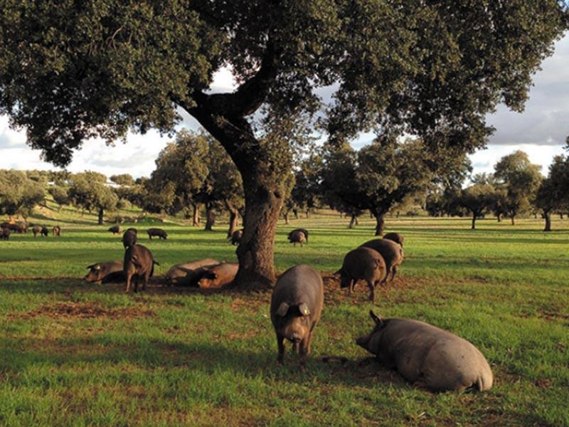 FISAN cerdos ibericos