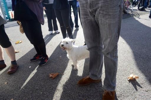 west highland terrier, dog, market, white dog, westie