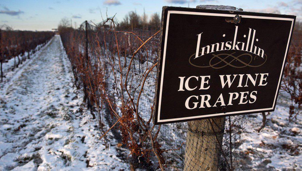 campo de uvas ice wine