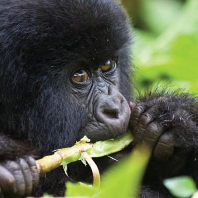 Montain Gorilla Trekking Tours Uganda