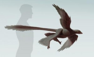 This is an illustration of newly discovered feathered dinosaur, Changyuraptor yangi. (S. Abramowicz, Dinosaur Institute, NHM)
