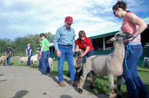 Priddis Fair - judging sheep