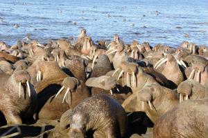 Walrus Photo credit: Bill Tracey