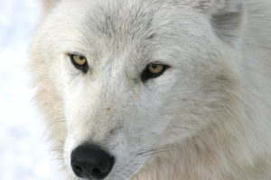 The study published in Functional Ecology examines the unwanted ripple effects of hunting on the stress and reproductive systems of wolves in Northern regions of Canada. Photos by Marco Musiani, University of Calgary