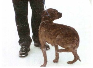 Example of a dog experiencing effects of being left outside without adequate shelter.