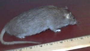 Rat and ruler