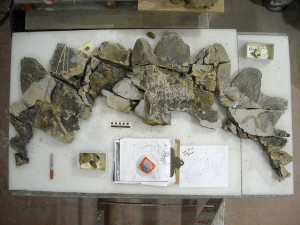 Photograph of the frill of the new the new horned dinosaur Regaliceratops peterhewsi while in preparation. It took 18 month to slowly remove the skull from the rock, reconstruct it, and conserve it. Courtesy of Royal Tyrrell Museum of Palaeontology, Drumheller, Alberta. Photo by Darren Tanke