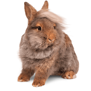 combover-bunny