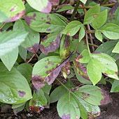 plantpeony15