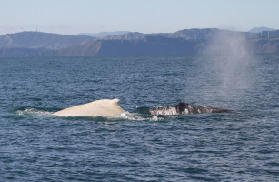 The white humpback whale with a normal black humpback whale PHOTO: | DOC