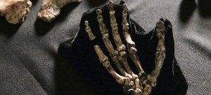 Skeletal fossil of the hand of Homo naledi. Photo: John Hawks, UW–Madison