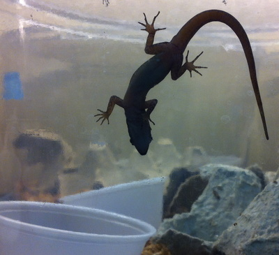 A humeralis gecko climbs its terrarium wall. Traditionally categorized as a gecko that lacks an adhesive system, this gecko's ability to stick to glass alerted Russell and his colleagues to the evolution of this species' foot structure.