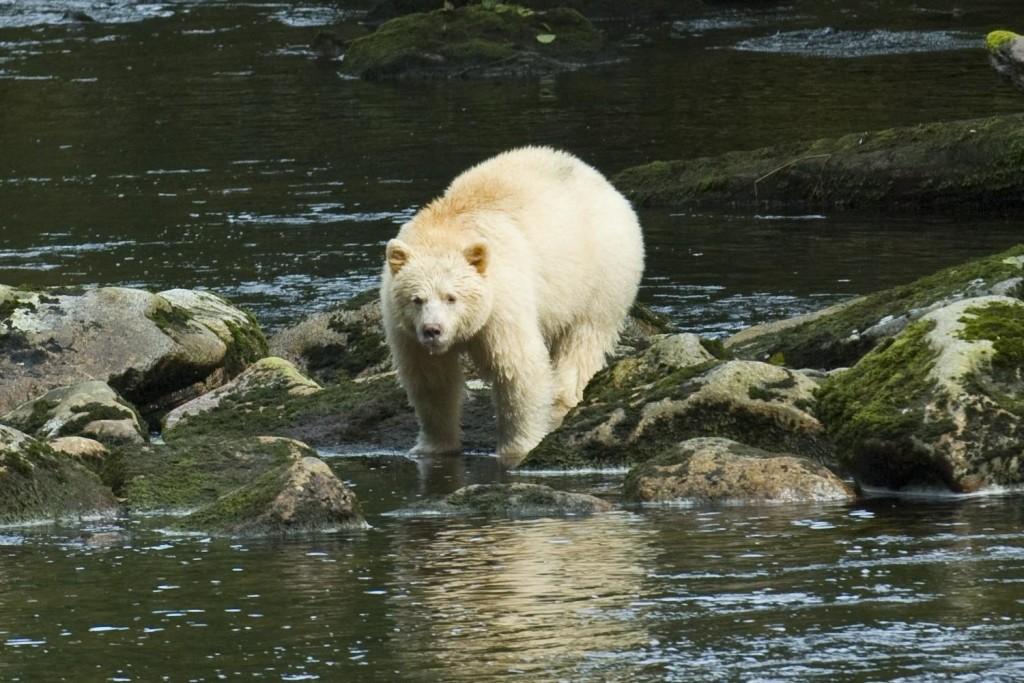 Spirit Bear in Great Bear Rainforest of BC
