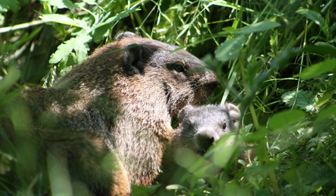 Groundhog (Photo: Marie Stadnek, CWF Photo Club Member)