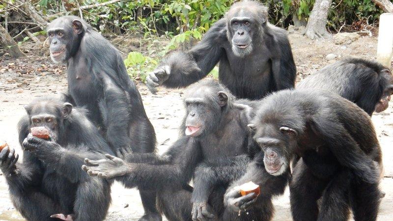 chimp island
