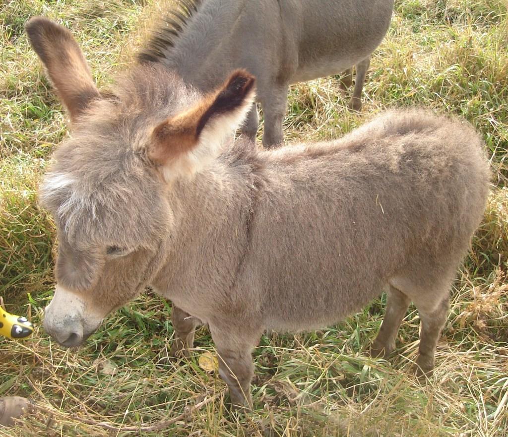 The Faithful Little Donkey
