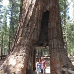 California: Yosemite National Park: Mariposa Grove – Day 2