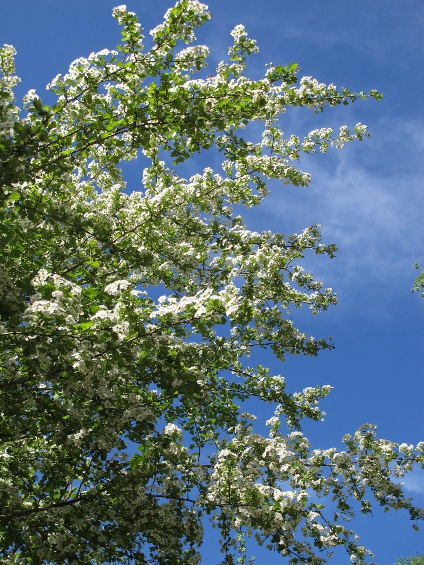 hawthorn-blossom-25-4-13