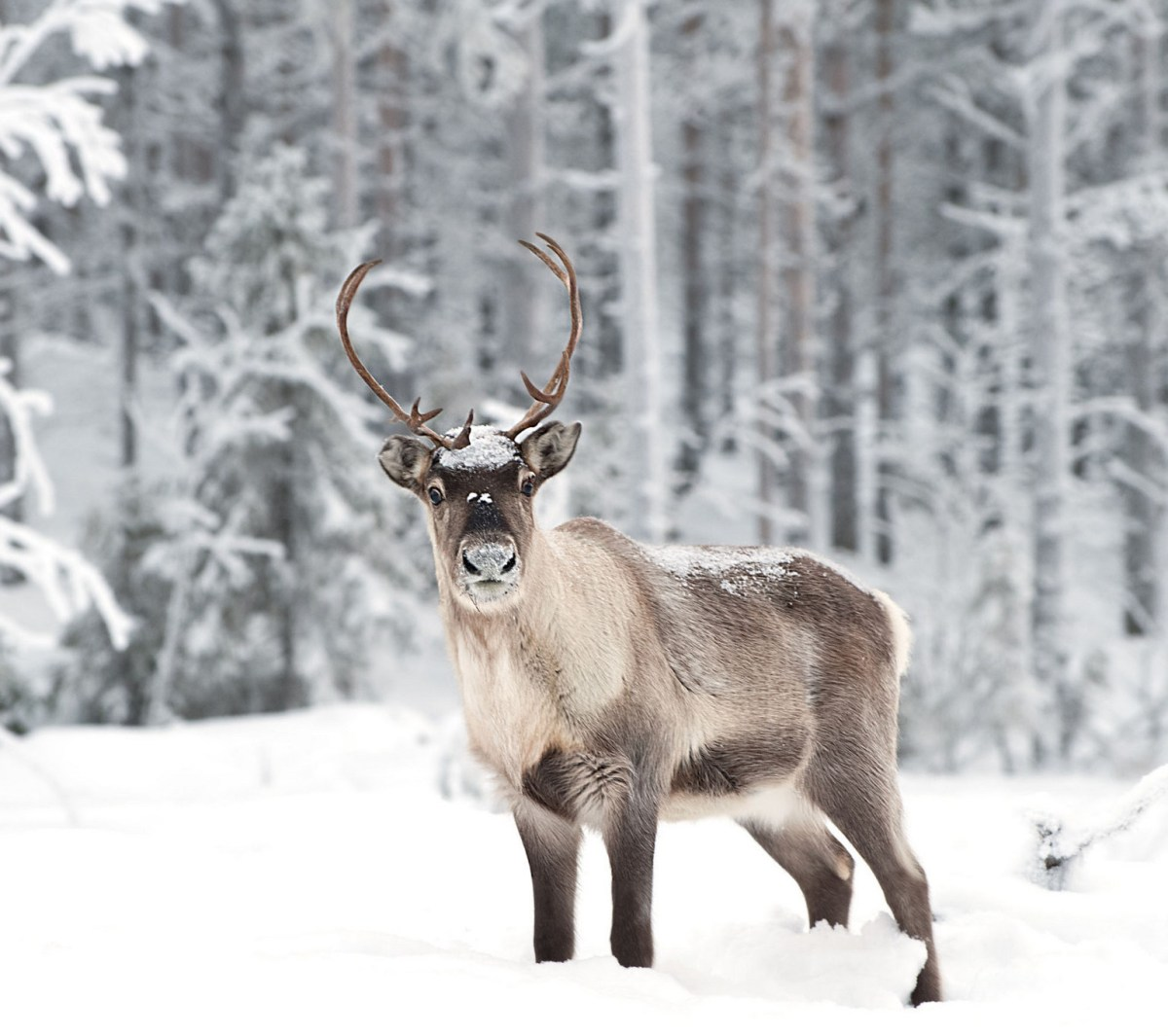 Doe, A Deer, A Female Reindeer: The Spirit of Mother Christmas